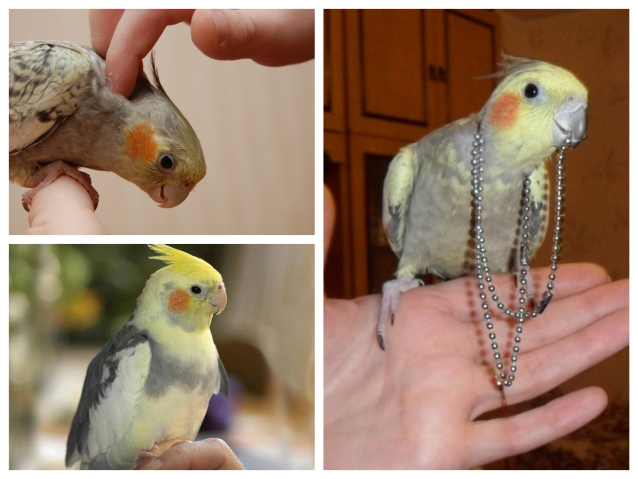 Почему попугай корелла шипит