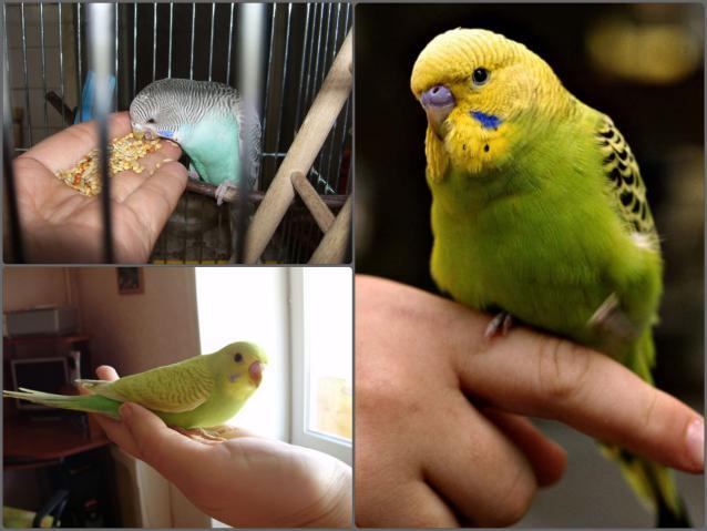 Как приучить попугайчика к своим рукам