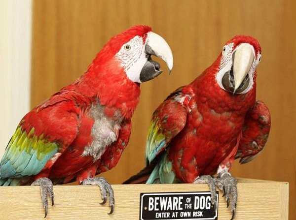 Папуга замість службового собаки... Popugai-vmesto-sobak