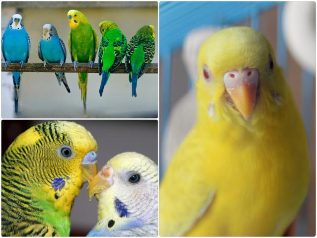 Как выглядит клюв здорового волнистого попугая фото