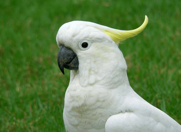 Image result for интересные факты о попугае какаду