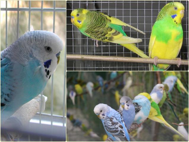 Первая линька у волнистых попугаев