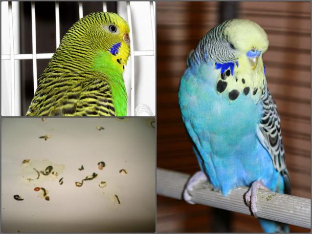 Отравление попугая лечение