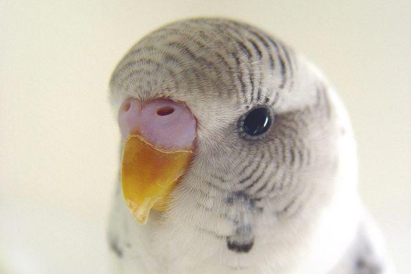 Говорят ли волнистые попугаи