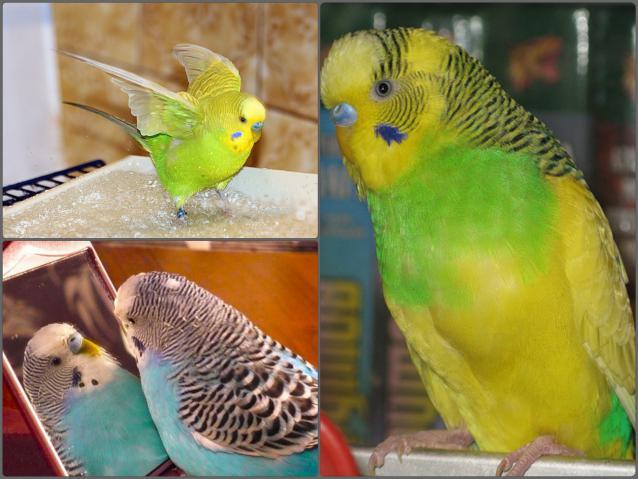 Естественная линька здоровью попугая не помеха