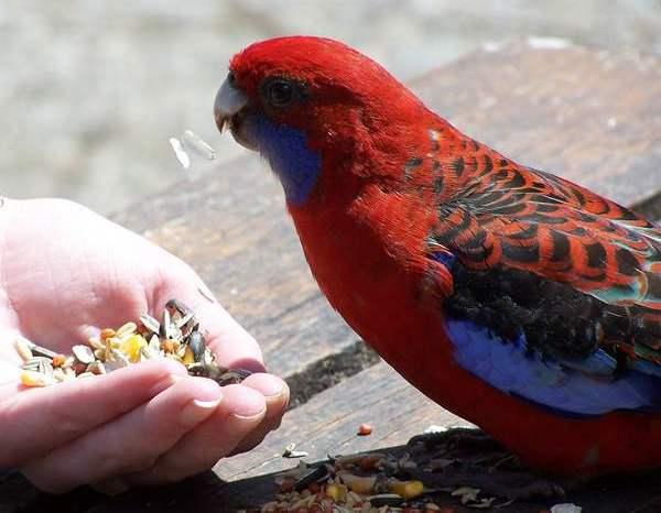 Как ухаживать за попугаем: основные моменты