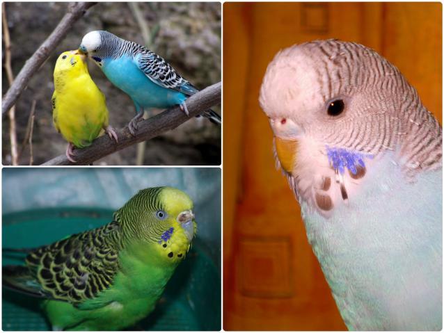 Что делать если умер попугай