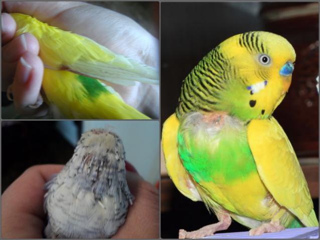 У волнистого выпадают перья