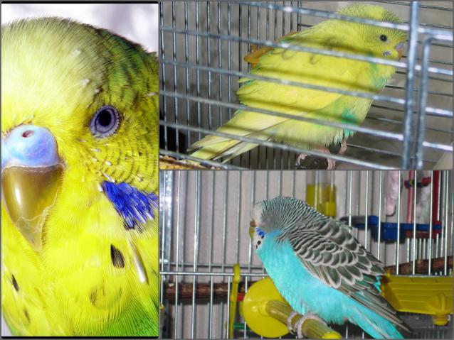 Почему попугай дрожит и хохлится