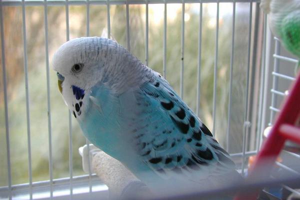 Какого попугая можно научить говорить
