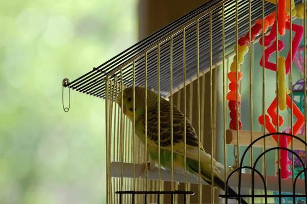 Содержание и уход за волнистыми попугаями
